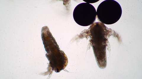 Two small larvae of artemia salina are moving near eggs under the microscope Live Action