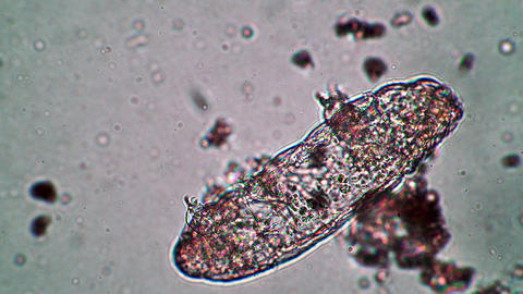 Big tardigrade animal is dormant or dead in water close up under a microscope Live Action