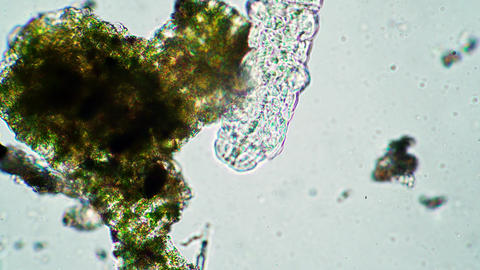 The tardigrade is walking near the colony of green algae in magnification Live Action