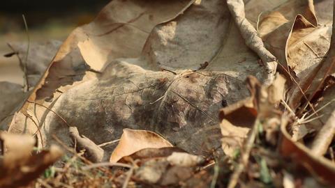 Fallen Barringtonia asiatica leaves on the ground Acción en vivo