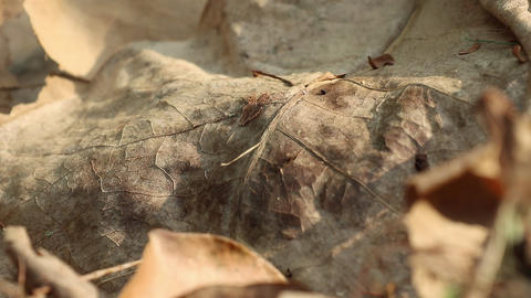 Dry leaf of fallen Barringtonia asiatica tree Live Action