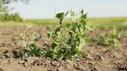 Young organic peas grow in a field and sway in the wind Live Action