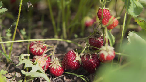 Ripe juicy organic strawberry berries ready for harvest by the farmer Live Action