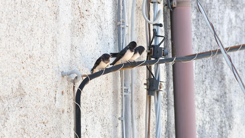 Summer swallows flock resting on electric power line cable,wild animals,birds Live Action