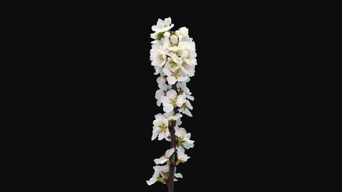 Time-lapse of blooming Nanking cherry tree branch, 4K with ALPHA channel Live Action