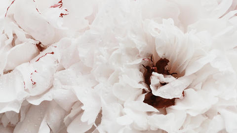 White peonies in bloom, pastel peony flowers as holiday, wedding and floral Live Action