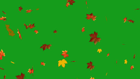 Falling maple leaves motion graphics with green screen background CG動画