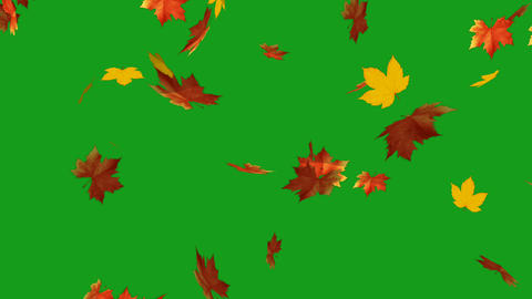 Falling maple leaves motion graphics with green screen background Animation