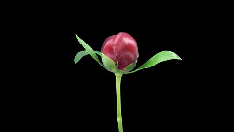 Time-lapse of opening red peony 5 with ALPHA matte front Stock Video Footage