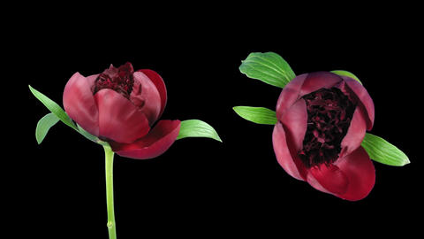 Time-lapse of opening red peony 7 with ALPHA double view Stock Video Footage