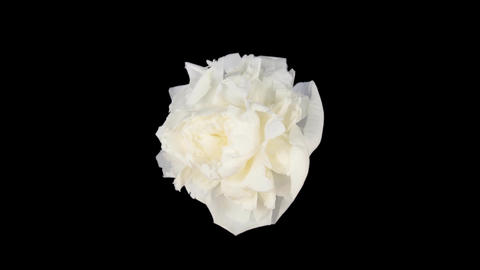 Time-lapse of dying white peony 4 isolated on black top Footage