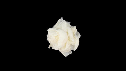 Time-lapse of dying white peony 4 isolated on black top Stock Video Footage