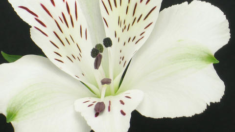 Time-lapse of opening white peruvian lily 2 Stock Video Footage