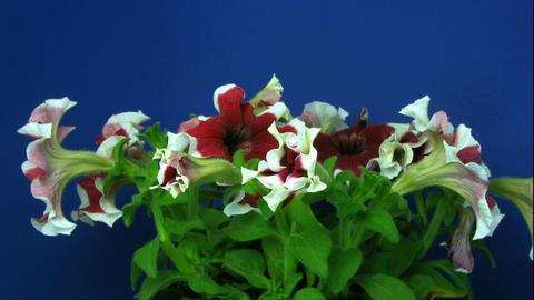 Time-lapse of growing red-white petunia 2 Stock Video Footage