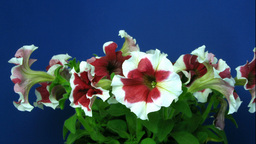 Time-lapse of growing red-white petunia 2 Footage