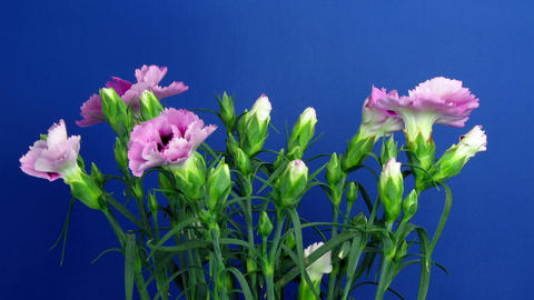 Time-lapse of growing Dianthus (pink) flower bush 1 (Part B) Footage