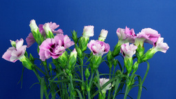 Time-lapse of growing Dianthus (pink) flower bush 1 (Part B) Stock Video Footage