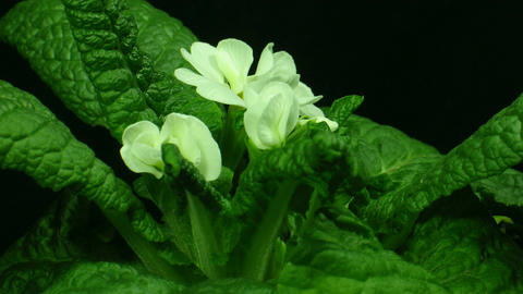 Time-lapse of white primula growing 3 Stock Video Footage
