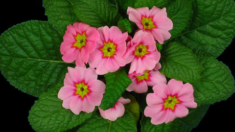 Time-lapse of red primula growing 5 Stock Video Footage