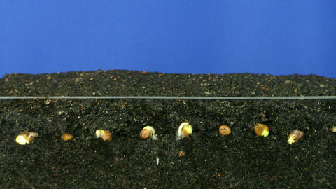 Time lapse of growing radish above and below surface 3b Stock Video Footage