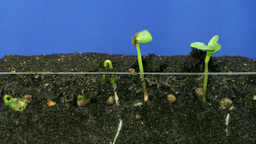 Time lapse of growing radish above and below surface 3b Footage