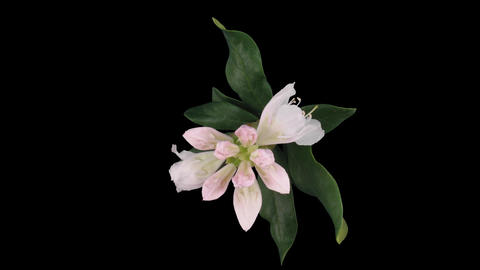 Time-lapse of opening rhododendron 1 isolated on black top Stock Video Footage