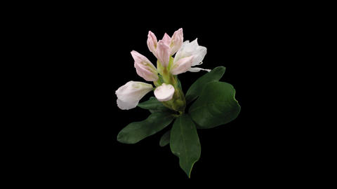 Time-lapse of opening rhododendron 3 isolated on black front Stock Video Footage