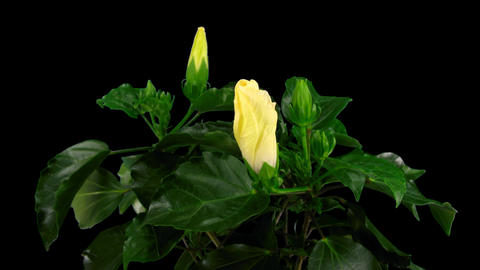 Time-lapse of white hibiscus flower opening 6 isolated black Stock Video Footage