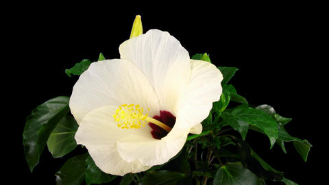 Time-lapse of white hibiscus flower opening 6 isolated black Footage