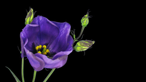 Time-lapse of blooming japanese rose (eustoma) 4 isolated on black Footage