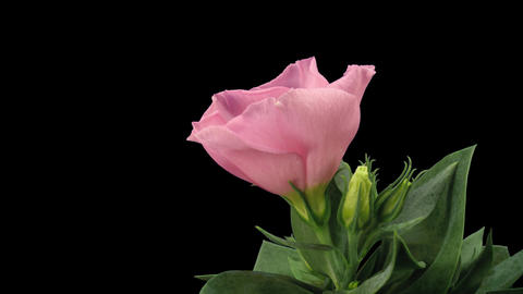 Time-lapse of blooming pink japanese rose 7 with ALPHA matte Stock Video Footage
