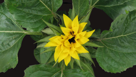 Time-lapse blooming sunflower 1 isolated on black top view Stock Video Footage