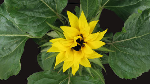 Time-lapse blooming sunflower 1 isolated on black top view Footage