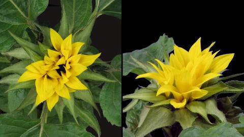 Time-lapse blooming sunflower 3 isolated on black two... Stock Video Footage