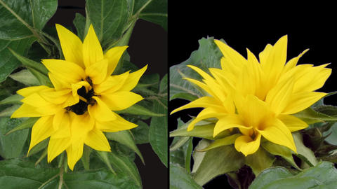 Time-lapse blooming sunflower 3 isolated on black two synchronised cameras Footage