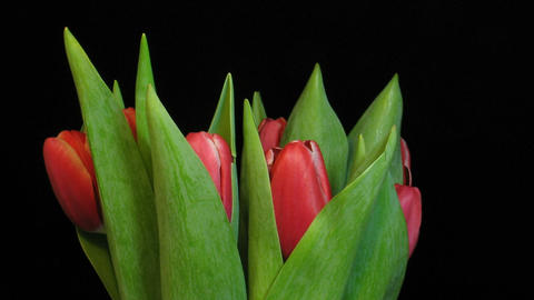 Time-lapse of red tulips opening 2 Stock Video Footage