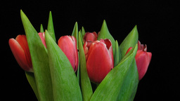 Time-lapse of red tulips opening 2 Footage