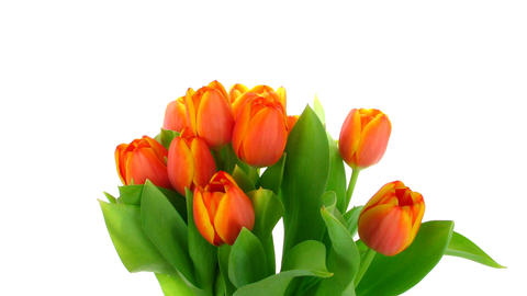Time-lapse of opening red tulips bouquet 4 Stock Video Footage