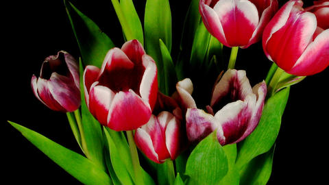 Time-lapse of opening red tulips bouquet 6 Stock Video Footage