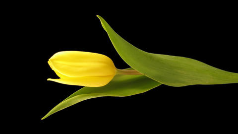 Time-lapse opening yellow tulip 4 isolated on black vertical composition Footage