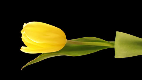 Time-lapse opening yellow tulip 4 isolated on black... Stock Video Footage