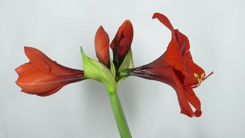 Amaryllis flower blooming timelapse 5 Stock Video Footage