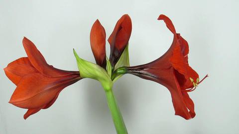 Amaryllis flower blooming timelapse 5 Footage
