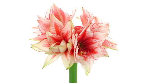 Time-lapse of growing amaryllis Joker flower isolated on white 6 이미지