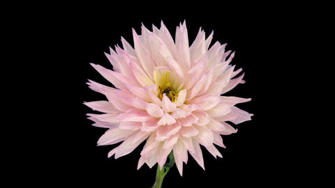 Time-lapse of dying pink dahlia 6 isolated on black Footage