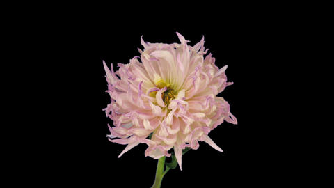 Time-lapse of dying pink dahlia 6 isolated on black Stock Video Footage
