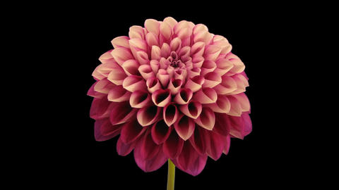 Time-lapse opening and dying red dahlia 9b isolated on black Stock Video Footage