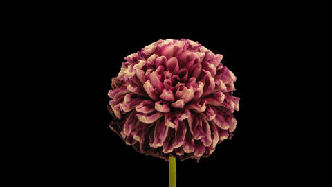 Time-lapse opening and dying red dahlia 9b isolated on black Footage
