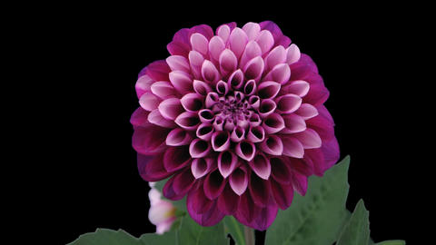 Time-lapse of blooming red dahlia 10 isolated on black Stock Video Footage