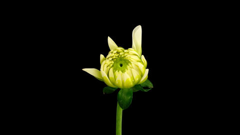 Time-lapse blooming white dahlia 1 isolated on black Footage